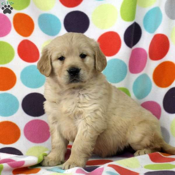 Duncan, Golden Retriever Puppy