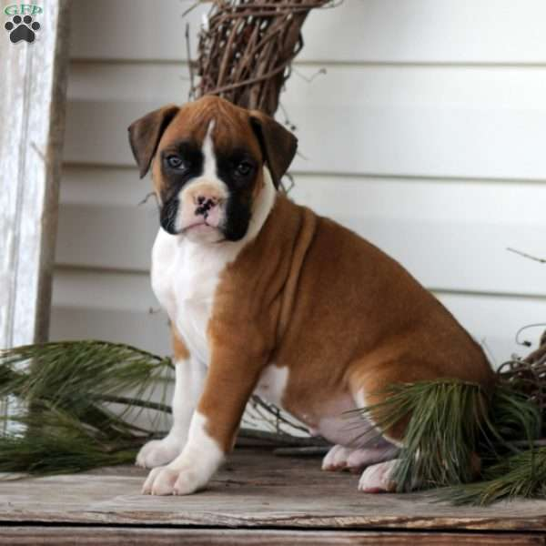 Dylan, Boxer Puppy