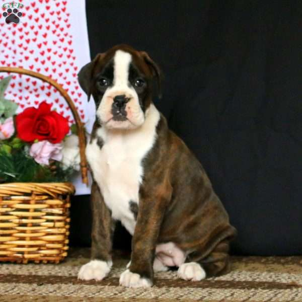Esther, Boxer Puppy
