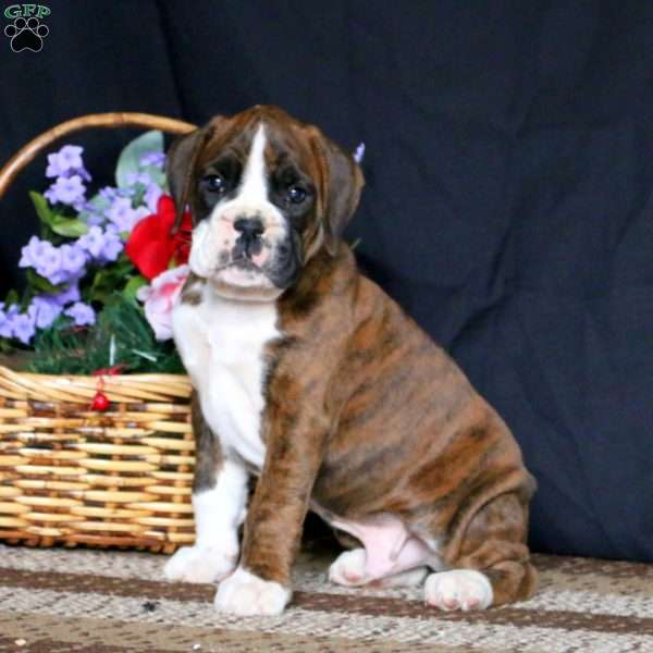 Everest, Boxer Puppy