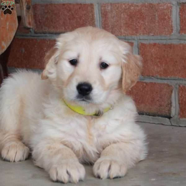 Fae, Golden Retriever Puppy