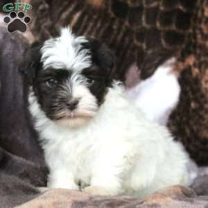 Farnsworth, Havanese Puppy
