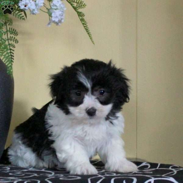 Gracie, Havanese Puppy