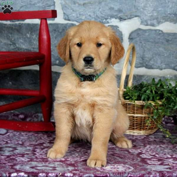Gracie, Golden Retriever Puppy