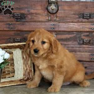Hailey, Mini Goldendoodle Puppy