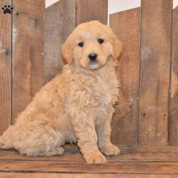 Haley, Goldendoodle Puppy
