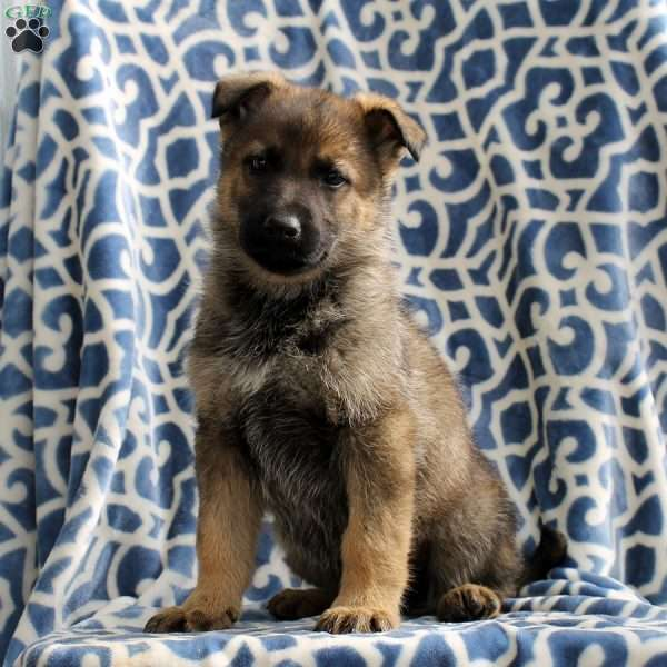 Hampton, German Shepherd Puppy