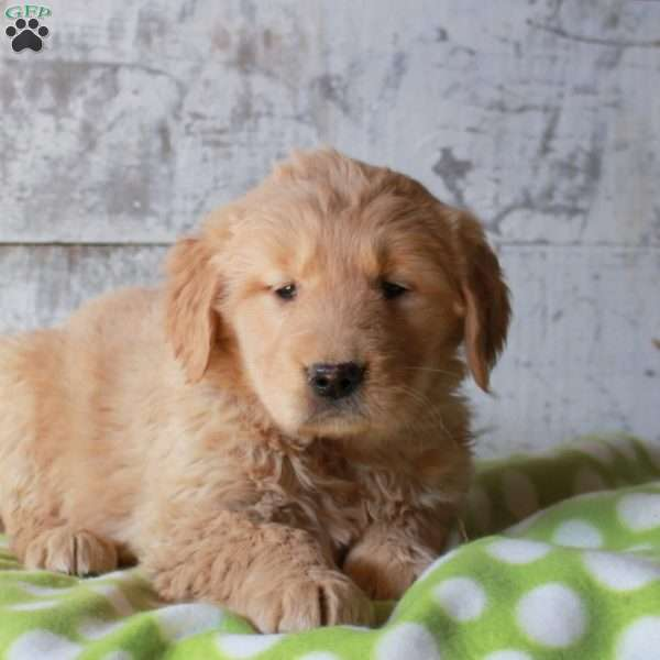 Harlee, Golden Retriever Puppy