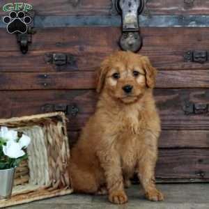 Harley, Mini Goldendoodle Puppy