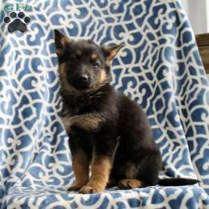 Hazel, German Shepherd Puppy
