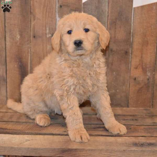 Hector, Goldendoodle Puppy