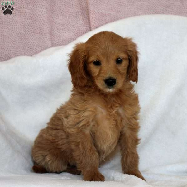 Helga, Mini Goldendoodle Puppy