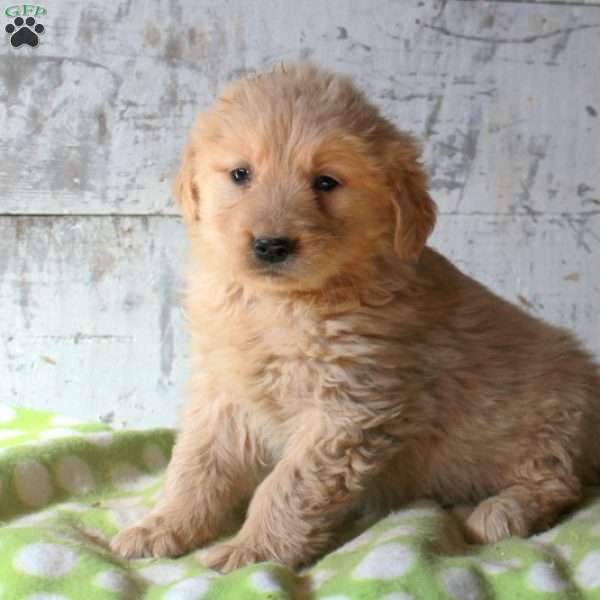 Herbert, Golden Retriever Puppy