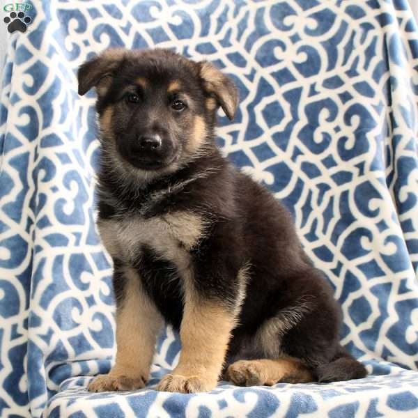 Hewitt, German Shepherd Puppy