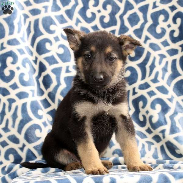 Hogan, German Shepherd Puppy