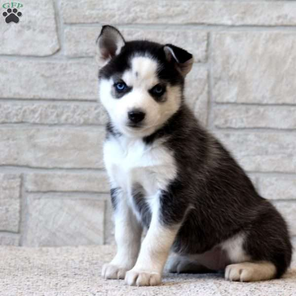 Hop Pomsky Puppy For Sale In Pennsylvania