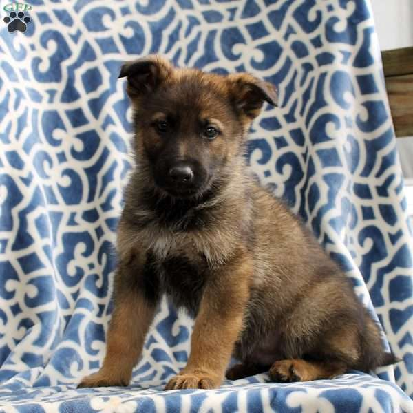 Hurley, German Shepherd Puppy