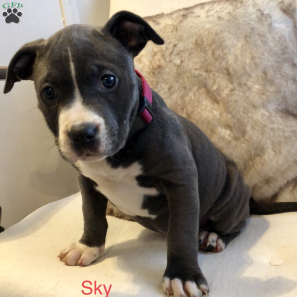 Sky - American Bully Puppy For Sale in Pennsylvania