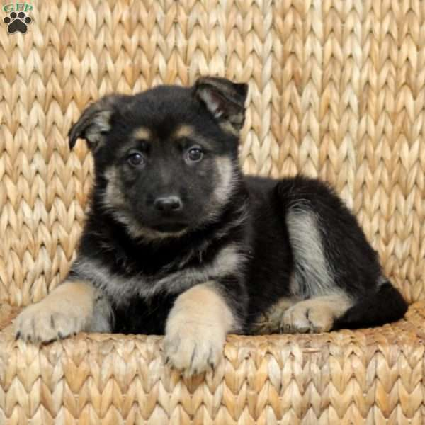 Ian, German Shepherd Puppy
