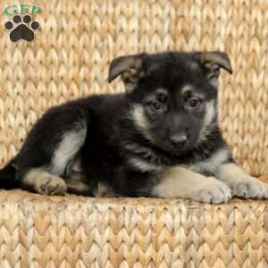Indie, German Shepherd Puppy