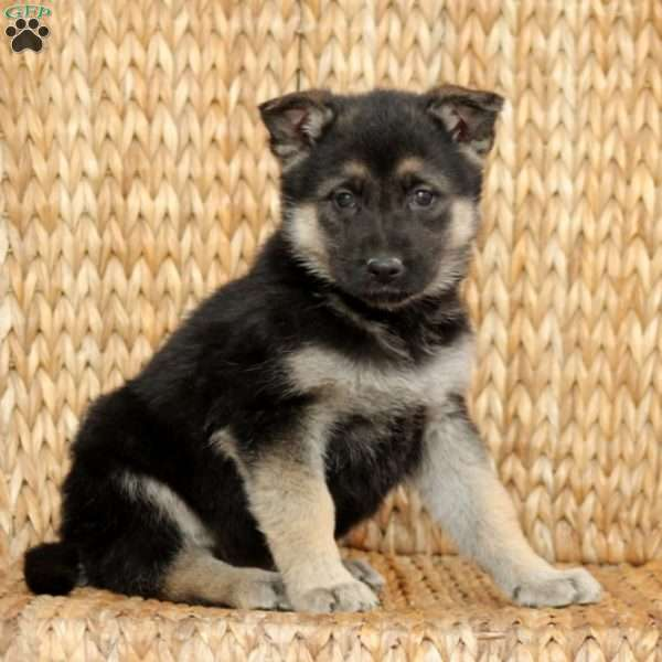 Isabella, German Shepherd Puppy