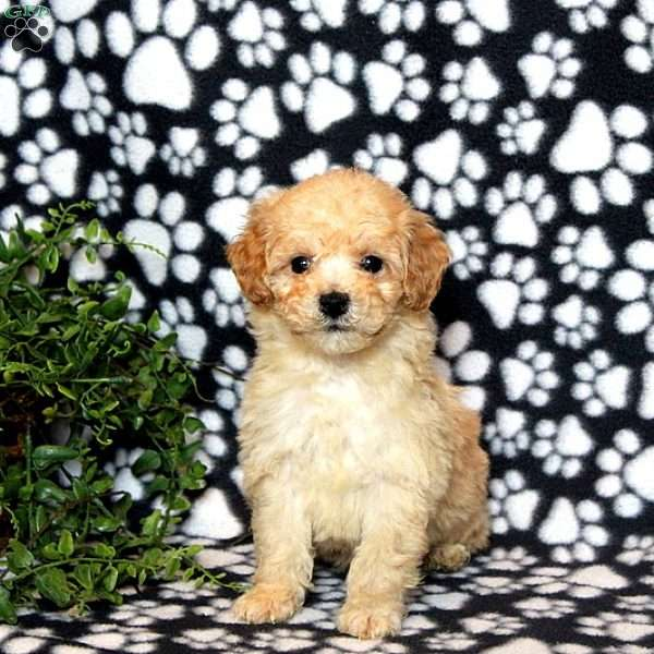Jack Bich Poo Puppy For Sale In Pennsylvania