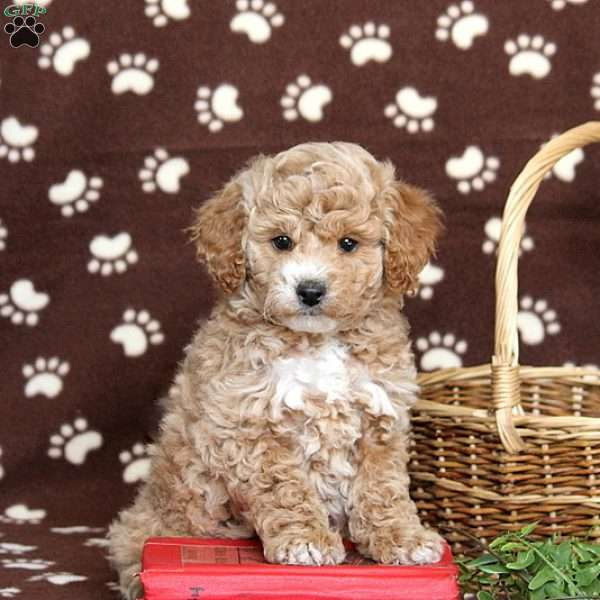 Jalyn, Mini Goldendoodle Puppy