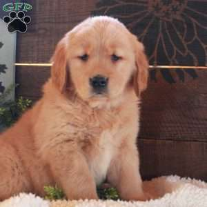Jen, Golden Retriever Puppy