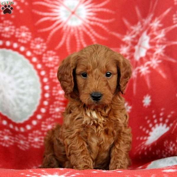 Jeremy – 2nd Generation, Mini Goldendoodle Puppy