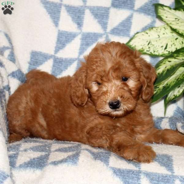 Joel, Mini Goldendoodle Puppy