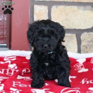 Joli, Mini Goldendoodle Puppy
