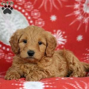 Jordan – 2nd Generation, Mini Goldendoodle Puppy