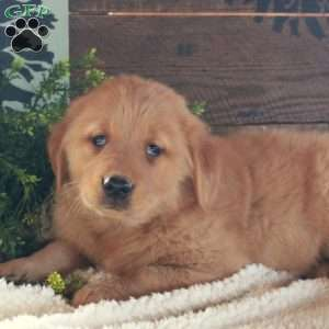 Julia, Golden Retriever Puppy