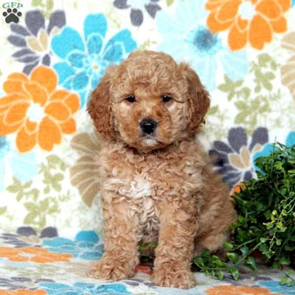 Karlos, Mini Goldendoodle Puppy