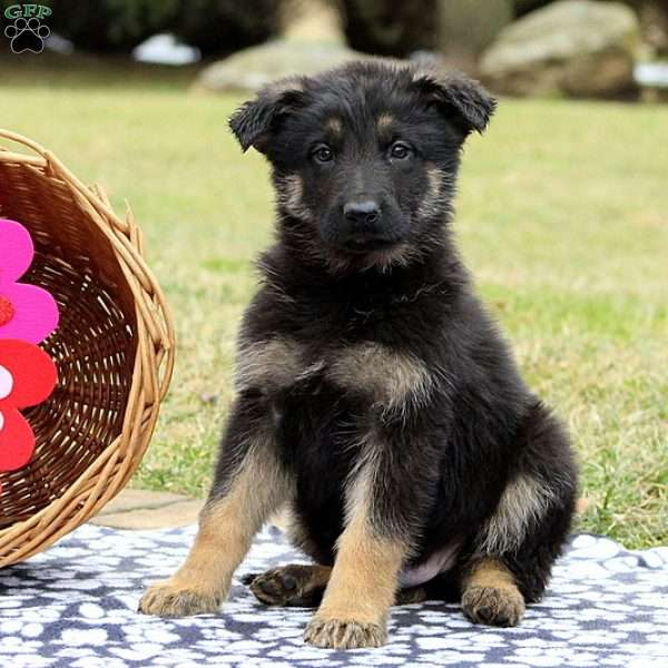 Katcher, German Shepherd Puppy