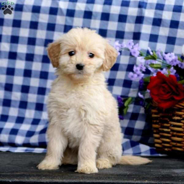Kelly, Mini Goldendoodle Puppy