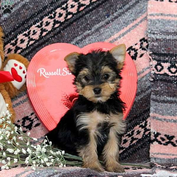 Kelsey, Yorkshire Terrier Puppy