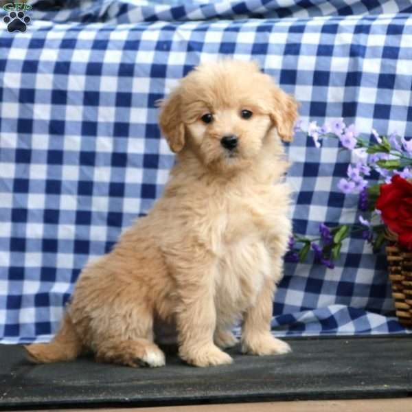 Kendall, Mini Goldendoodle Puppy