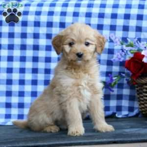 Kent, Mini Goldendoodle Puppy