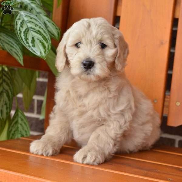 Kia, Mini Goldendoodle Puppy