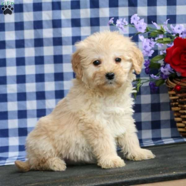 Kirby, Mini Goldendoodle Puppy