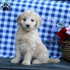 Kirk, Mini Goldendoodle Puppy