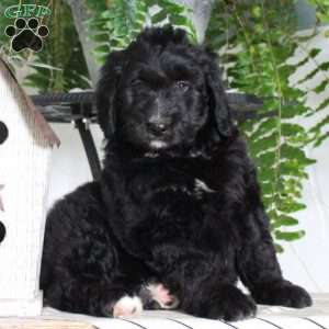 Kylie, Bernedoodle Puppy