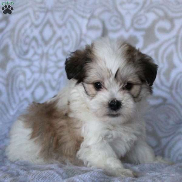 Lacy, Havanese Puppy