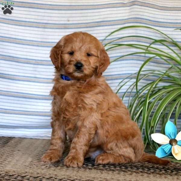 Lenny, Mini Goldendoodle Puppy