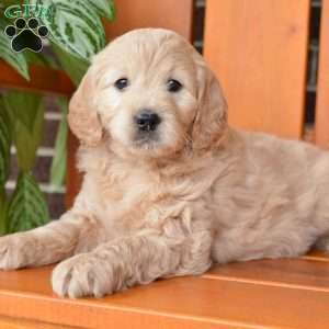 Libby, Mini Goldendoodle Puppy