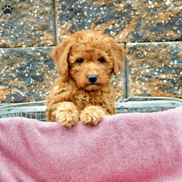 Lilly-F2b, Mini Goldendoodle Puppy