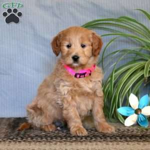 Lovely, Mini Goldendoodle Puppy