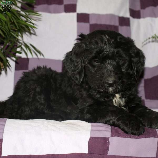 Lucy, Bernedoodle Puppy