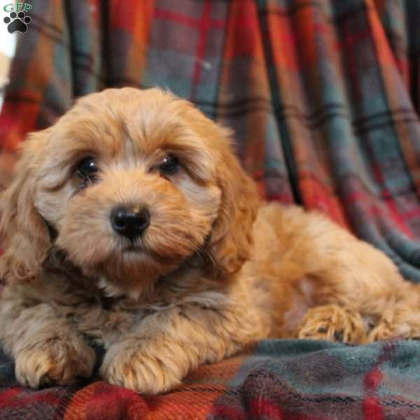 Lucy, Mini Goldendoodle Puppy